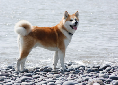 Hachi A Dog S Tail
